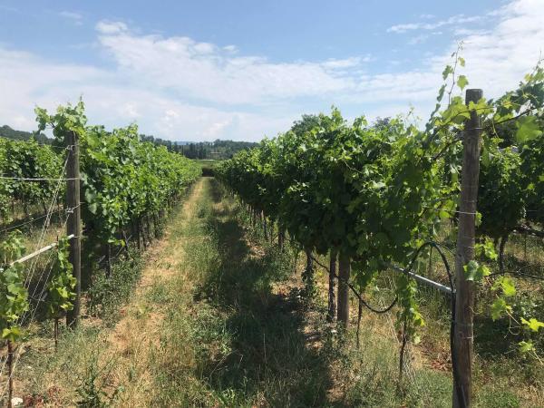 Collavini vines